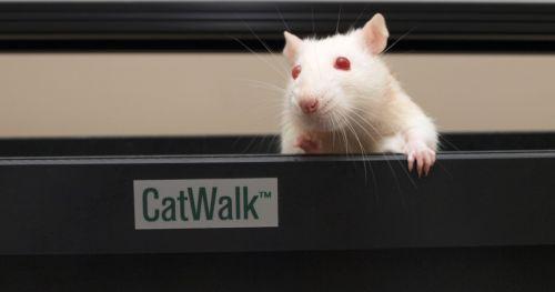 Noldus catwalk rodent gait analysis